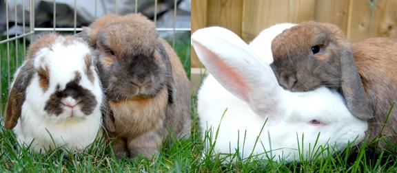 Bonding Rabbit Rescue